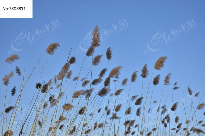 冬日蓝天下的芦苇花图片