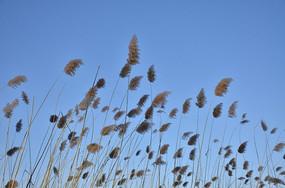 冬日蓝天下的芦苇花