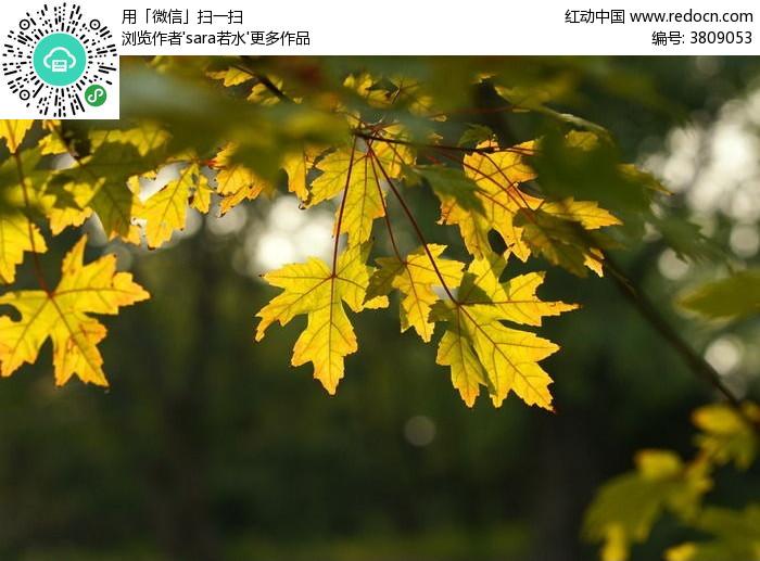 金黄色大叶子阳光光圈图片,高清大图_树木枝叶素材