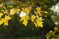 金黄色大叶子阳光光圈