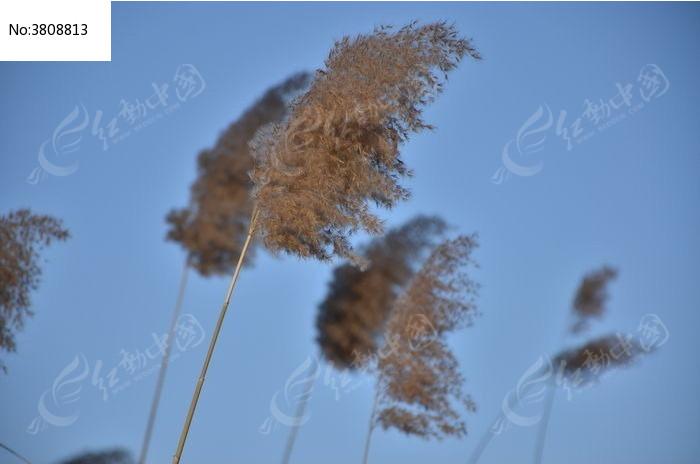 原创摄影图 动物植物 树木枝叶 芦苇特写
