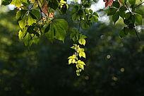 绿色的香山红叶初秋光点
