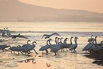 晨光中走过冰冻河面的天鹅