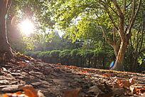 午后的阳光大树下的树叶图片