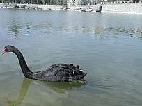 燕山城市湖泊黑天鹅