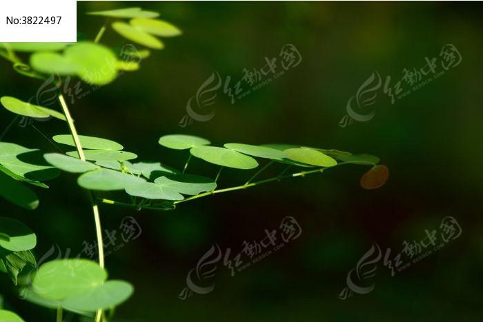 原创摄影图 动物植物 花卉花草 阳光下的圆形叶片藤蔓植物