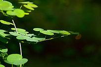 阳光下的圆形叶片藤蔓植物