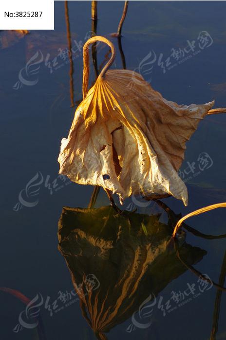原创摄影图 动物植物 花卉花草 残荷枯叶倒影
