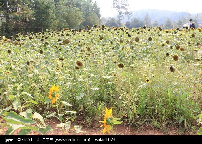 长沙植物园向日葵基地