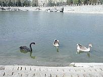 城市湖泊天鹅