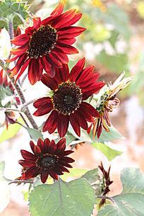 国外红色向日葵