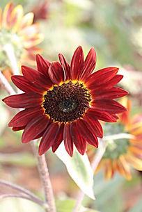 红色微笑向日葵