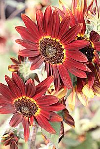 红色向日葵花叶花细胞