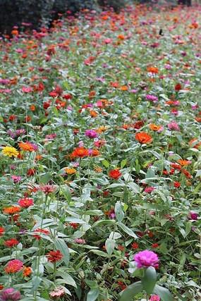 花地里  花种植