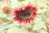 花开茂盛的向日葵