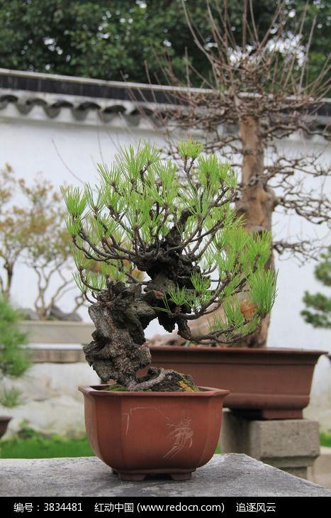 美丽的松树盆栽图片