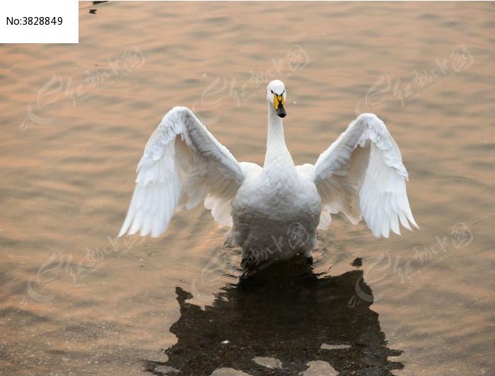 天鹅图片,高清大图_水中动物素材