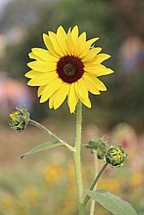 向日葵花朵小花