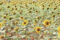 向日葵花植物园地