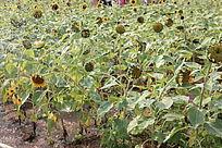 向日葵种植地