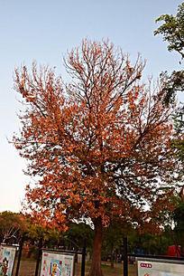 一棵火红的枫树