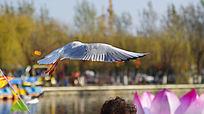 展翅掠过游客头顶的红嘴鸥