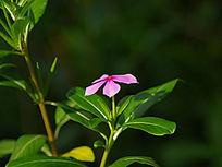 绿叶茂盛的长春花
