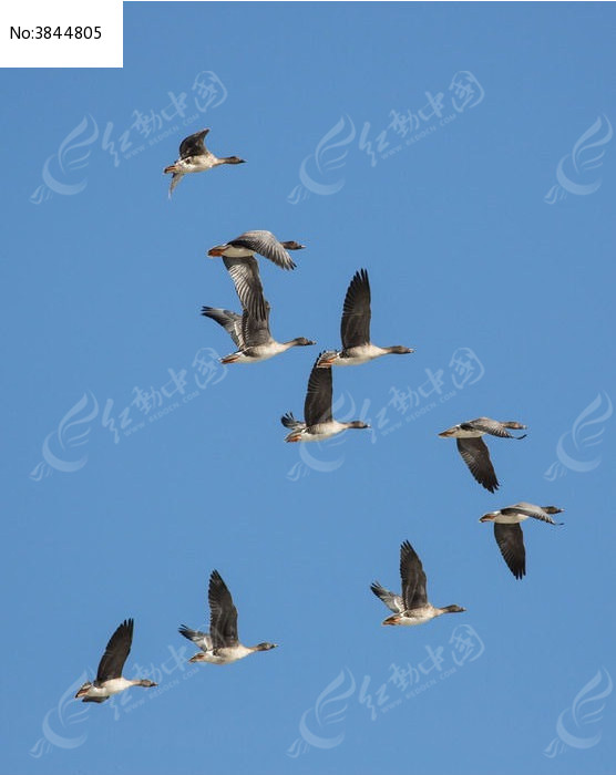 冬季黄河故道飞行蓝天的大雁图片