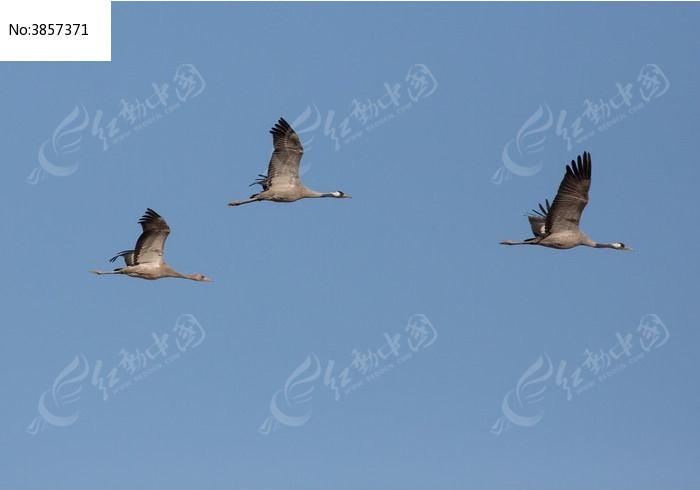 故道天空飞行的灰鹤图片