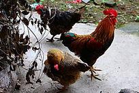 麻鸡 红鸡  叫鸡