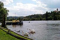 易北河岸边的天鹅