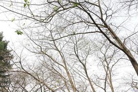 樱花树樱花林