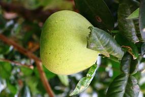 在树上的有机蜜柚