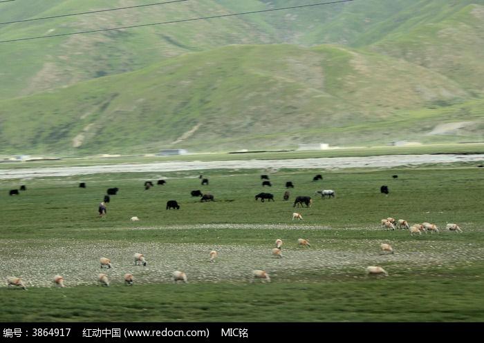 西藏蓝天白云的大草原羊群图片