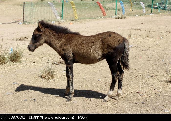 青海湖的小骏马