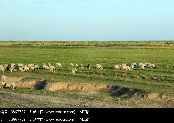 西藏蓝天白云草原上 羊群 图片