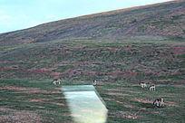 西藏蓝天白云大草原羚羊