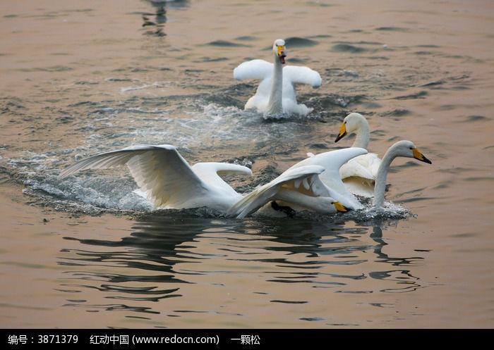 原创摄影图 动物植物 空中动物 追逐打闹的天鹅  请您分享: 红动网