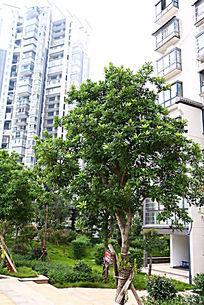 小区杨梅树种植