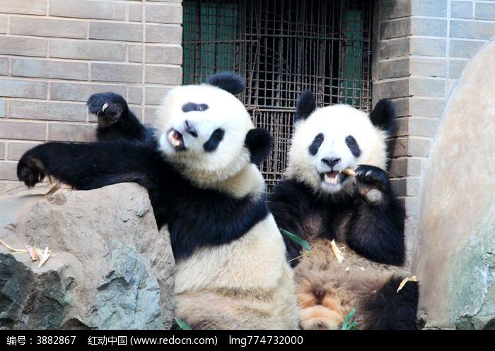 熊猫啃竹子图片,高清大图