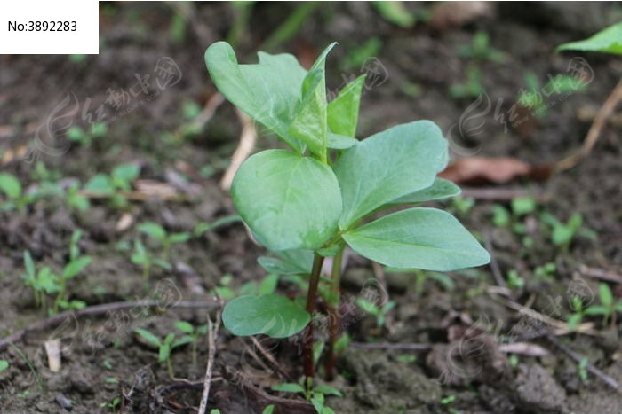 原创摄影图 动物植物 农作物 蚕豆植物碗豆栽培