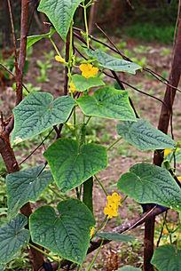 黄瓜种植园