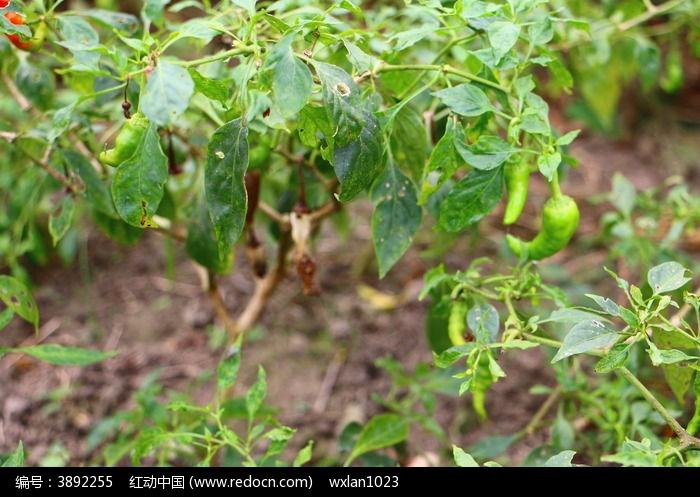辣椒树上的辣椒高清图片下载_红动网