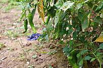 辣椒种植辣椒地图片