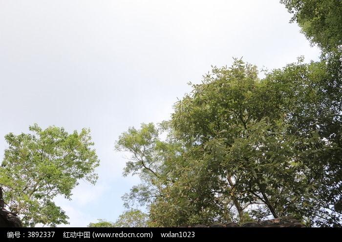 蓝天下的板粟树