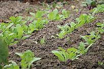 萝卜种植萝卜菜栽培