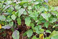 茄子种植物园