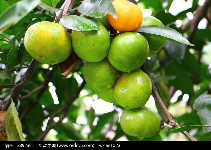 原创摄影图 动物植物 农作物 新鲜橘子 结满橘子树的橘子  请您分享
