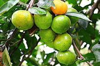 新鲜橘子  结满橘子树的橘子
