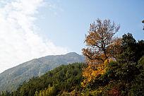 山峰上一棵红枫树